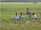 65 nhà khoa học với 72 giống lúa cho ĐBSCL