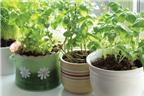 Cách trồng rau thơm tươi ngon, an toàn tại nhà