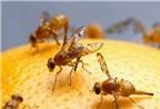 Mẹo tự nhiên đuổi ruồi giấm tránh xa hoa quả trong nhà