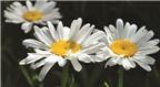 Những tác dụng không ngờ của hoa cúc trắng