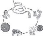 Nhiễm sán xơ mít từ món ăn tái sống