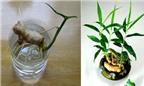 Chiêu trồng gừng cảnh mini làm đẹp nhà cực dễ