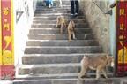 Đàn khỉ trên núi Châu Thới có nguy cơ bị xóa sổ
