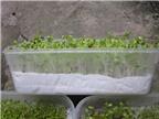 Cách trồng rau mầm bằng giấy ăn tươi ngon, an toàn