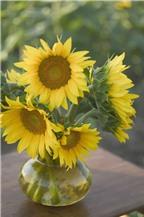 Hoa hướng dương và những điều thú vị mà bạn chưa biết
