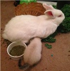 Kỳ quặc mèo con cứ nghĩ mình là con của thỏ
