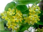10 bài thuốc chữa bệnh từ hoa thiên lý