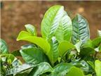 16 lợi ích sức khỏe từ lá chè xanh