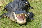 Cha tay không chiến với cá sấu để cứu con trai