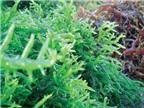Chữa bệnh tuyến giáp bằng hải tảo