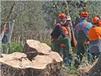 Italy tiếp tục chiến dịch ngăn chặn bệnh Xylella cho cây ôliu