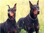 Top những giống chó thông minh nhất thế giới