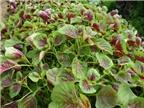 Cách trồng rau dền sạch và nhanh được ăn