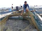 Phương pháp nuôi cá mú cọp bằng lồng bè cho năng suất vượt trội