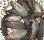 Nuôi cá rô đồng sinh sản bằng phương pháp nhân tạo cho năng suất cao