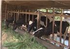 Phòng chống bệnh mùa nắng nhằm đảo bảo năng suất, chất lượng bò sữa