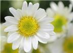 Cúc hoa làm thuốc
