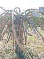 Kỹ thuật phòng trị bệnh thối rễ, khô cành giúp năng suất thanh long cao