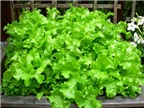 Cách trồng rau xà lách đơn giản từ hạt