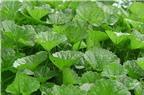 Kỹ thuật trồng rau má xanh tốt, mỡ màng, năng suất
