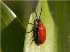 Chữa kinh bế, u xơ tử cung bằng cánh kiến đỏ