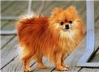 Điểm các giống chó sống thọ nhất thế giới (1)
