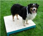Điểm các giống chó sống thọ nhất thế giới (2)