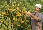 Thu trăm tỷ nhờ trồng cam đặc sản
