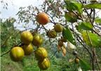 Đặc sản hồng không hạt Bảo Lâm