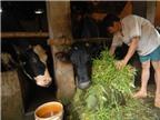 Người nuôi bò sữa ngày càng khó khăn