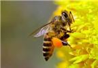 Cách sơ cứu nhanh khi bị ong đốt