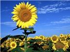 Công dụng chữa bệnh cao huyết áp hiệu quả của hoa hướng dương