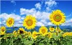 Hoa hướng dương chữa nhiều bệnh đường hô hấp