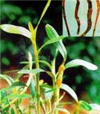 Bài thuốc dân gian từ cây thạch hộc