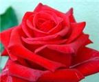 Hoa hồng - Vị thuốc hay