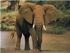 Loài voi - Chìa khóa chống lại bệnh ung thư ở người?