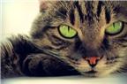 Nguy cơ mắc tâm thần phân liệt do nuôi mèo
