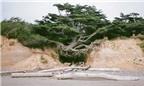 Cây đại thụ rễ lơ lửng trên không vẫn xanh tốt