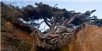 Rễ lộ thiên, cây đại thụ vẫn tươi tốt