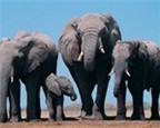 Nghiên cứu phòng chống ung thư từ bộ gen của voi