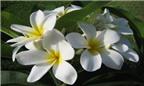 Những công dụng chữa bệnh thần kỳ của hoa sứ trắng