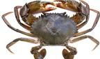 Món ăn bài thuốc từ cua biển cho trẻ còi, đàn ông yếu