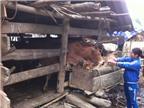 Bí quyết tránh rét, bảo vệ đàn trâu bò độc đáo ở Bản Mế