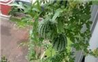 Tung tuyệt chiêu trồng dưa hấu nặng trĩu quả tại nhà