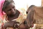 Người phụ nữ cho bê bú sữa