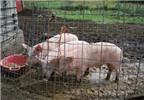 Trang trại chăn nuôi phải đảm bảo vệ sinh theo quy định