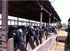 Chăn nuôi bò sữa theo mô hình 'tự quản'