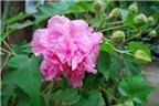 Hoa phù dung chữa viêm khớp