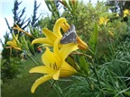Kỹ thuật trồng hoa kim châm trị bệnh tại nhà