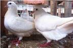 Kỹ thuật chọn giống chim bồ câu Pháp cho năng suất chất lượng tốt